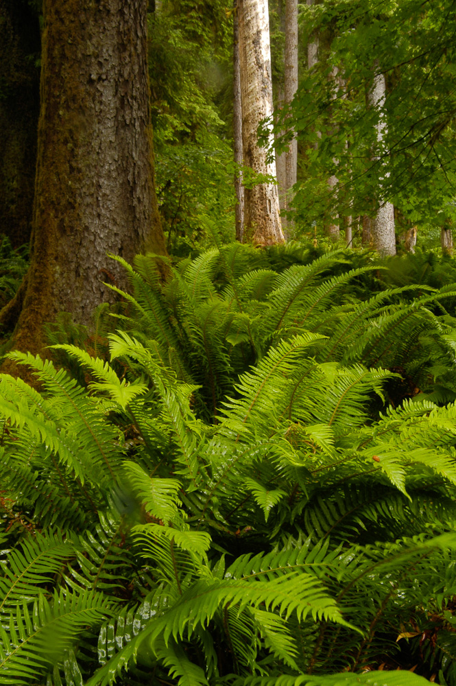 Fern covered forest floor in the Hoh Rain Forest in Washington